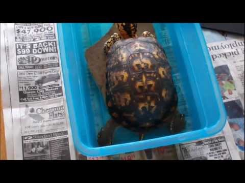 Part 7 of 10 Wild eastern box turtle story, box turtle care, rehab and release-bot fly