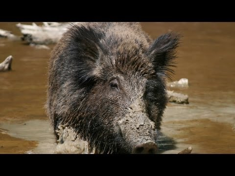 3 Boar Hunting Tips | Archery Lessons