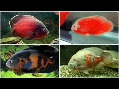 12 Different Types of OSCAR fish