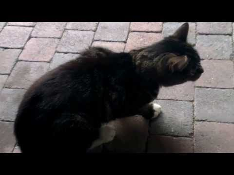Cat coughing. Is this Feline asthma or a hairball ?