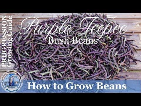 How to Grow Purple Teepee Bush Beans