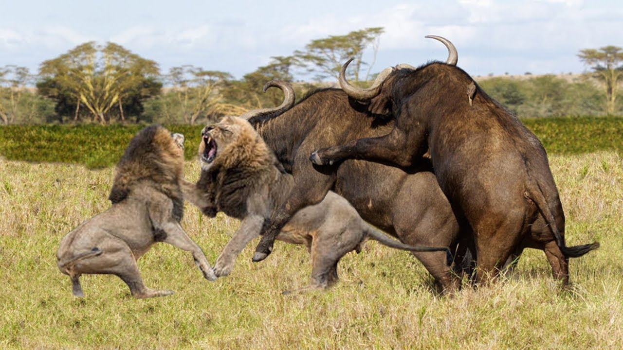 Buffalo Escapes Lion | Buffalo Herd Save Fellow From Lion Pride Hunting