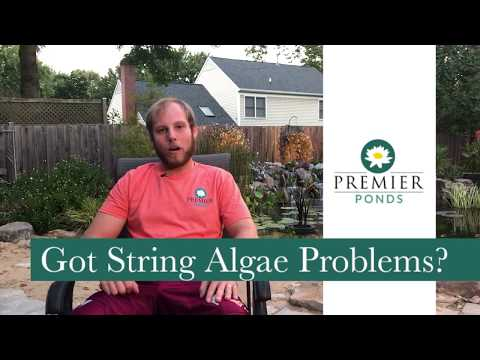 How To Fix String Algae In A Pond