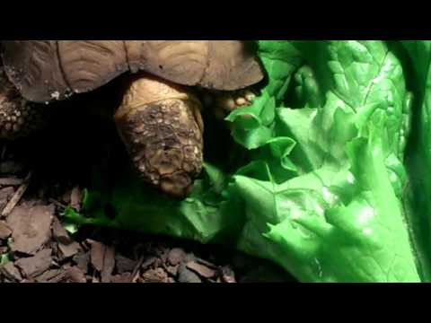 Milton the tortoise eating his supper