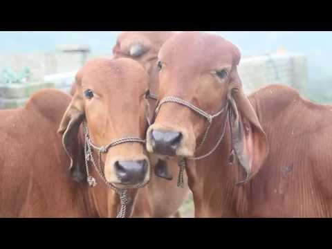 Happy cows - Flute call and jackfruit