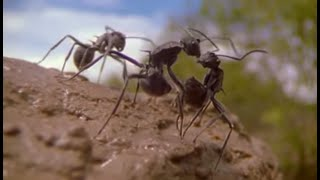 Ants   Attenborough: Life in the Undergrowth   BBC