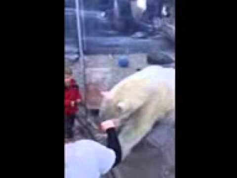 Polar Bear at the zoo LOVES Service Dogs!