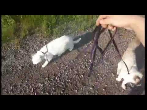 Walking my indoor cats on a leash