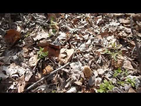 Morel Mushrooms 2015 - Make Room for the Shroom!