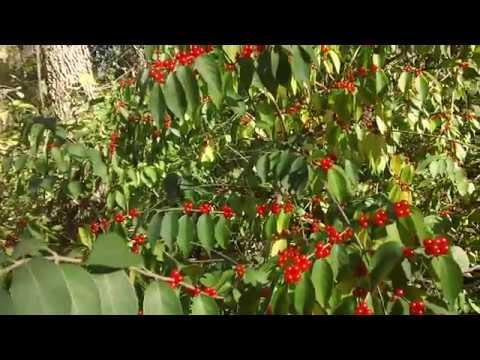 Honeysuckle Berry Gathering