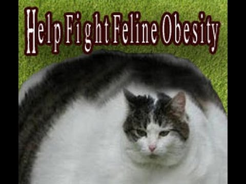 Help Obese Cats Lose Weight With The Catkin's Diet!!!
