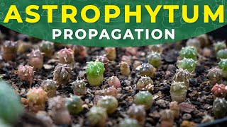 HOW TO GROW ASTROPHYTUM CACTUS FROM SEEDS? | Germination period, seedlings care