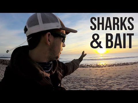 Surf Fishing for Sharks and Bait