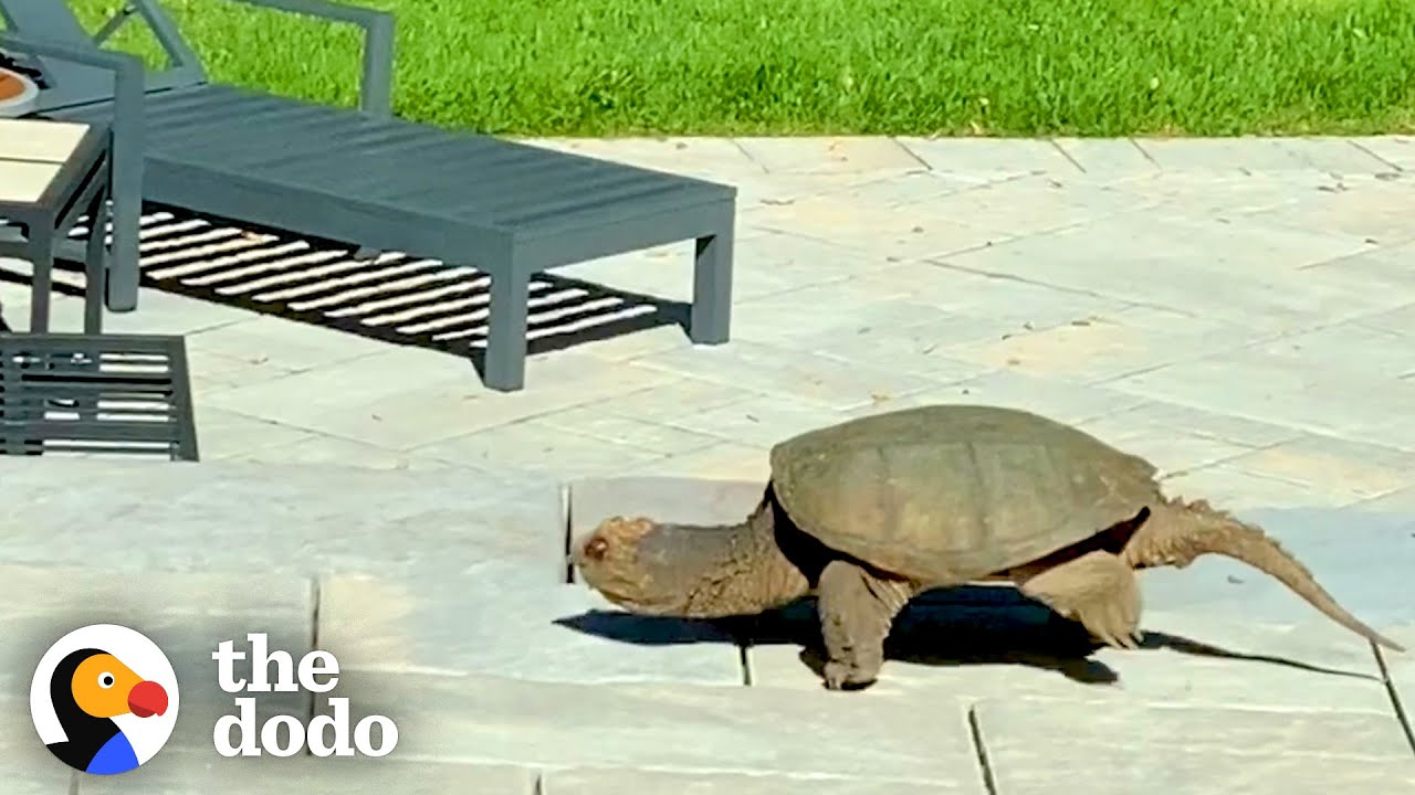 A Giant Snapping Turtle Showed Up This Family's Yard With An Amazing Surprise | The Dodo Wild Hearts