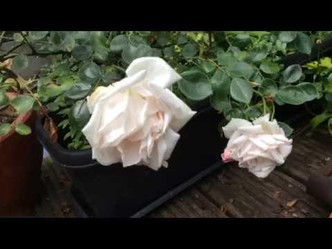 Greenfly, Blackfly, Whitefly, Spider Mites Bug Killer For Rose Plants #roses #gardening #pesticide