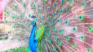 Download 66 Foto Gambar Burung Merak Dari Sendok Plastik HD Terbaru Free