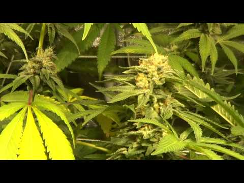 [Bonus footage!] Nectar For The Gods - Four strain selection tent - Day 54 flower.