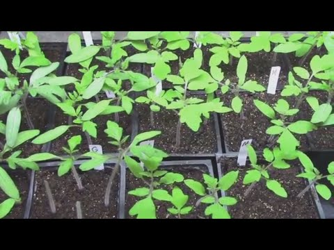 This Year's Tomato Seedlings - And a Few Top Grafted Tomato Plants.
