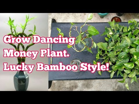 How to grow Money Plant || Lucky Bamboo Style|| Wiring and shaping a money plant stem