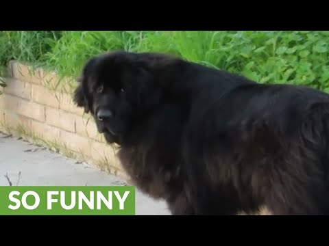Vigilant dog protects child near pool area