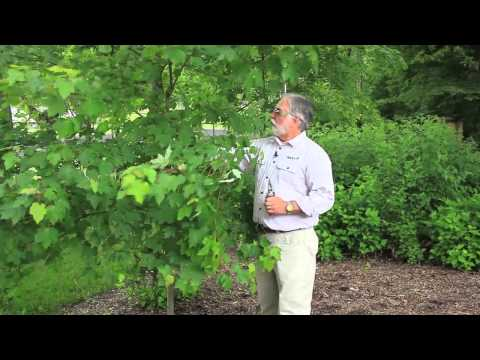 How to Trim a Maple Tree Seedling : Tree Trimming & Care