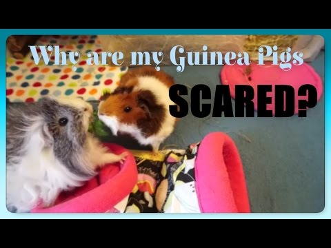 MOST ASKED: Why Is My Guinea Pig Scared of Me?!   Squeak Dreams