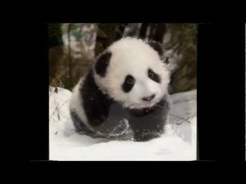 A Panda's Life in 54 seconds