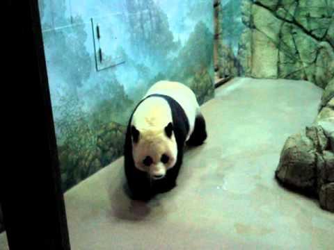 Panda Bear (short clip)
