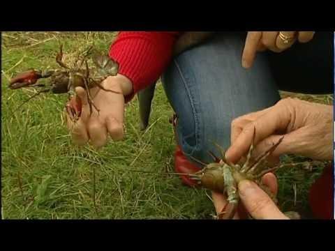 BBC East Midlands Today - Sally Goes Wild - Crayfish