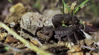 Download Wild Deadly Scorpion Video