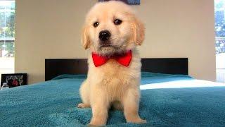 Cooper's First Valentine's Day (Golden Retriever Puppy)