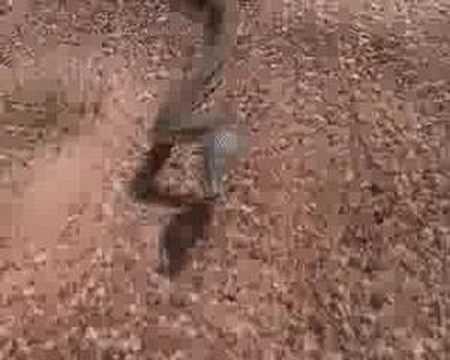 Don't chase Brown Snakes (Pseudonaja nuchalis)