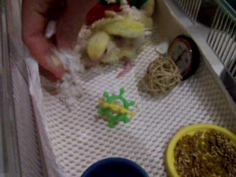 Baby Lovebird Brooder Set-up