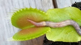 WORM CRUSHED BY VENUS FLYTRAP