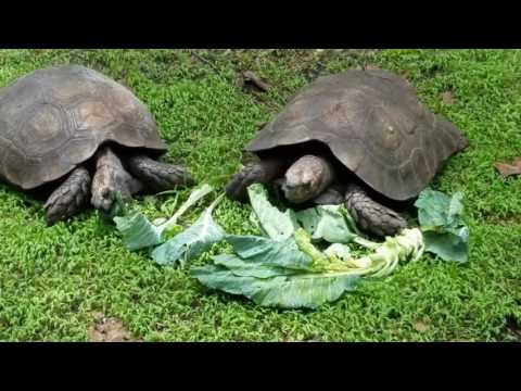 Lunch time for some Burmese Mountain Tortoises