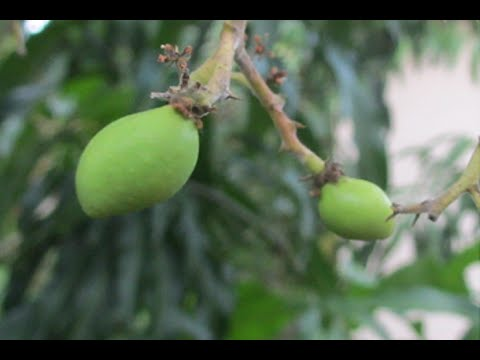 How to Force a Mango to Bloom