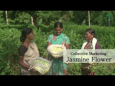 Collective Marketing: Jasmine