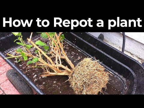 How to repot a plant in container or pot for optimum growth