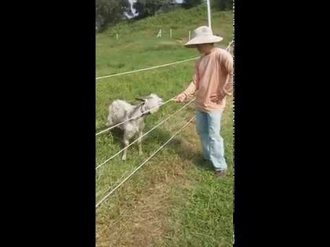 Training a goat to respect an Electric Fence in Hawaii