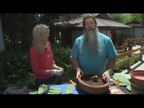 In The Garden With Nick Federoff: Growing Prickly Pear Cactus