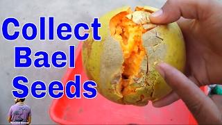बेल पत्थर के बीज कैसे निकाले और कब उगाये /How to Collect Bael Seeds - 8th May 2017/Mammal Bonsai