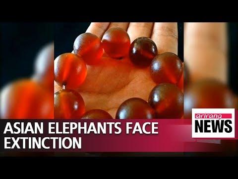 Asian elephants in danger of extinction