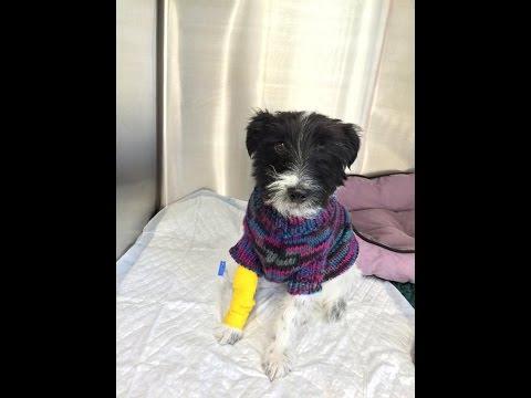 Dog Surgery - Grass Eating