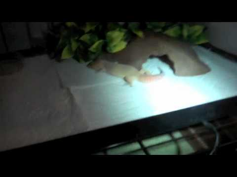 Egg Update #3 ( Leopard Gecko Egg Candling #3 ) And Updates