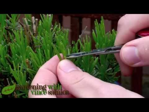 Pruning Lavender, to make it more Bushy