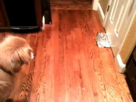 Dog is Scared of Aluminum Foil