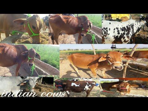 देशी नस्ल के गाय का दुध फायदेमंद या विदेशी नस्ल के । आइये जानते है इस विडयों मे