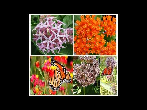 (4 Types) MONARCH BUTTERFLY Seed Collection Set Butterfly Weed Milkweed - SEEDS on  www.MySeeds.Co