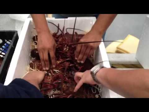 Alive red spiny lobster packing by CSP