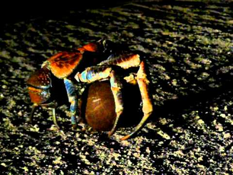 Coconut Crab carries a coconut at night on Christmas Island.